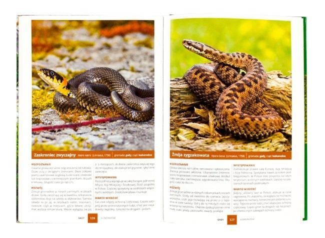 Zaskroniec zwyczajny, żmija zygzakowata - Atlas zwierząt chronionych