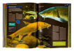 Brzana - ryby kostnoszkieletowe - Ilustrowana encyklopedia zwierząt i roślin Polski